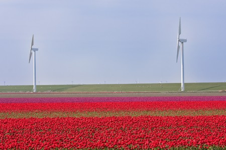 Dutch field of red and purple tulips with windmills behind it Stock Photo - 6981605
