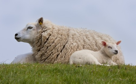 Sheep with two little lambs, resting in the grass Stock Photo - 7133729