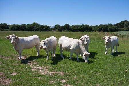 Five white cows in the breton farmland of France photo