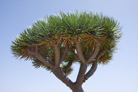 Dragon tree at La Palma, canary Islands Stock Photo