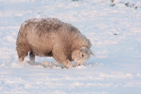 Grazing sheep in snowy meadow  searching for grass Stock Photo - 8048954