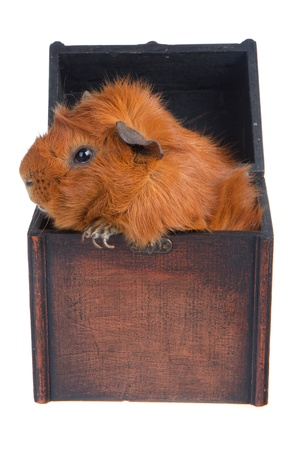 Brown Guinea Pig in a box, isolated on white Stock Photo - 9237663