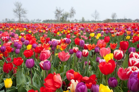 Many beautiful coloured tulips in the Netherlands 스톡 콘텐츠