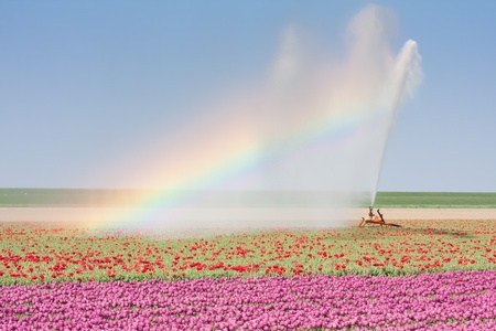 Sprinkler installation in a Dutch tulip field with a beautiful Rainbow 스톡 콘텐츠