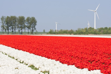 White and red tulip fields with windturbines Stock Photo - 9406261