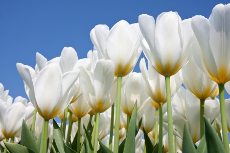 april flowers: Beautiful white tulips looking to the blue sky