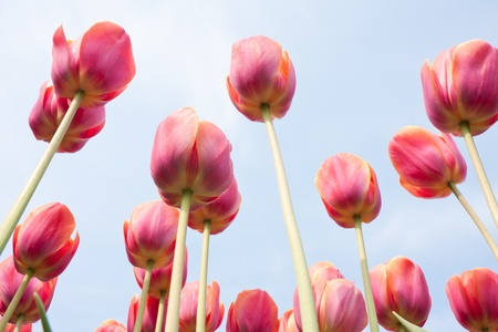 Beautiful red tulips facing the blue sky photo