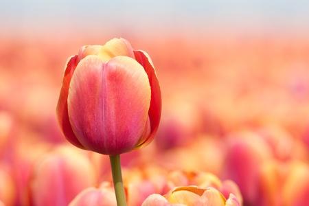 Hermosa tulip púrpura aislado de su fondo Foto de archivo