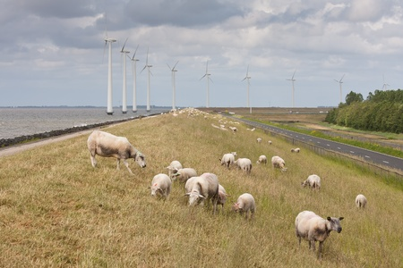 Grazing sheep with some big windmills in the sea behind them photo