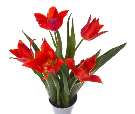 Beautiful red tulips in a vase, isolated on white