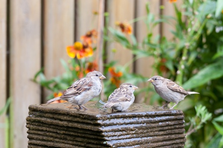 Three little house sparrows at a garden fountain
