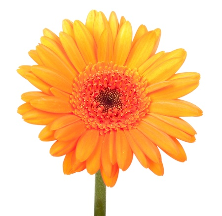 closeup of pink daisy with: Beautiful orange gerbera, isolated on white