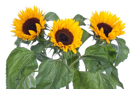 Three big sunflowers, isolated on white photo