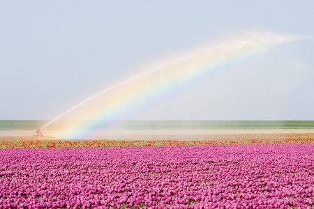 Tulip fields in the Netherlands are irrigated with a bright rainbowe