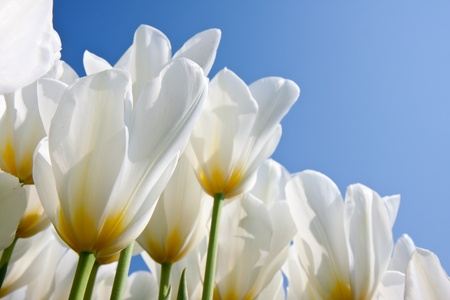 Beautiful white tulips with a yellow heart 스톡 콘텐츠