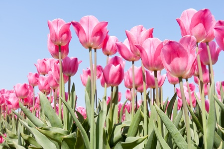 Beautiful pink tulips against a blue sky