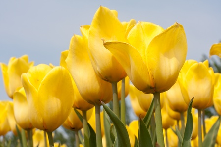 tulips in green grass: Beautiful yellow tulips against a blue sky