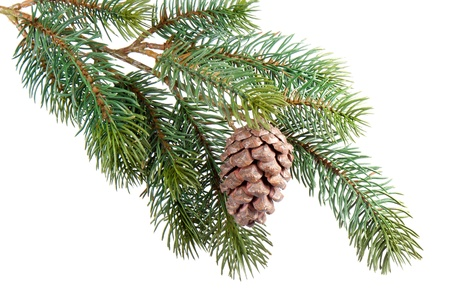 Fir branch with pine cone isolated on white photo