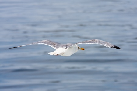 Flying seagull against a blue sea photo