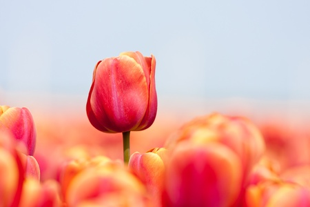 Pink tulip photographed with a selective focus and a shallow depth of field photo