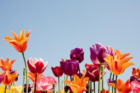 campo de flores: Bonito tulipanes multicolores contra un cielo azul Foto de archivo