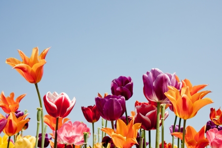 Lovely multicolored tulips against a blue sky