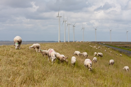 Grazing sheep at a dike with large windturbines in the Netherlands