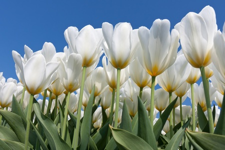 Beautiful white tulips with a yellow heart reaching to the sky photo