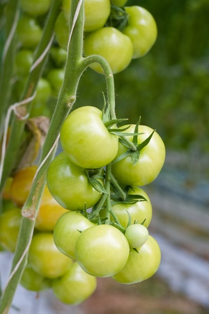 Growing tomatoes in a greenhouse photo