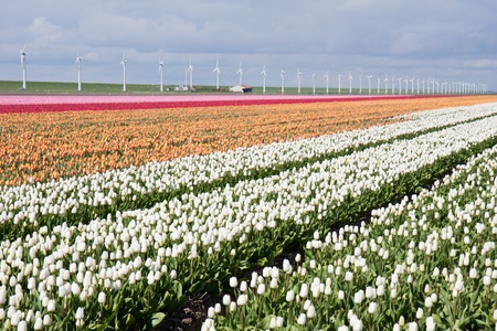 Dutch field of colorful tulips with windmills behind it photo