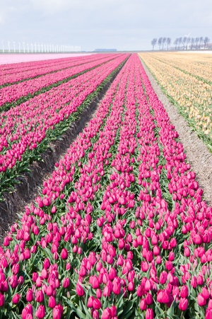 Dutch cultivation of tulip flower bulbs in spring Stock Photo - 13350053