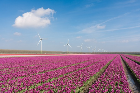 Big Dutch purple tulip field with windturbines Stock Photo - 13349945