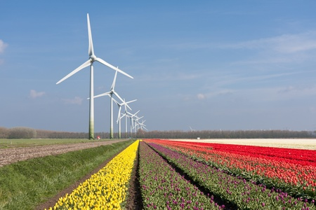 Big Dutch colorful tulip fields with windturbines Stock Photo - 13349944