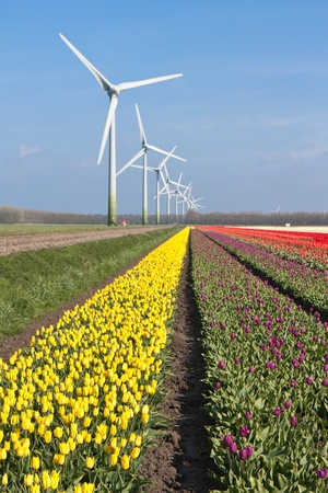 Big Dutch colorful tulip fields with windturbines photo
