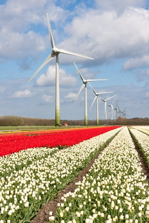 Big Dutch colorful tulip fields with wind turbines photo