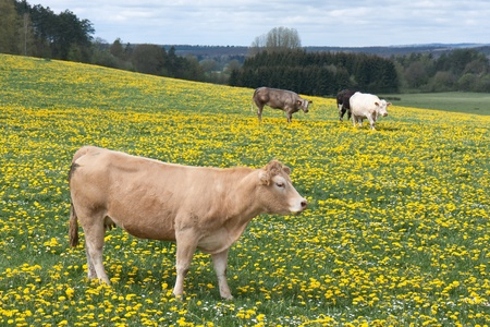 Cows in a field of blooming dandelions Stock Photo - 13509377