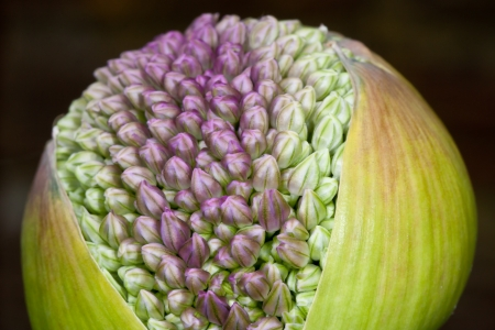 Birth of an allium, just before blooming Stock Photo - 13762213