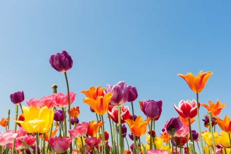 Amazing multicolored tulips against a blue sky photo