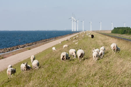Sheep , sea and windturbines in the Netherlands photo