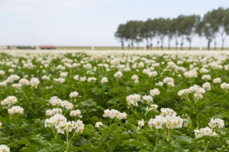 Bloeiende aardappelveld in Nederland gefotografeerd met een kleine scherptediepte Stockfoto - 14442259