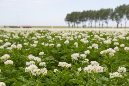 Blooming potato field in the Netherlands photographed with shallow depth photo
