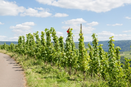 moseltal: Vineyards along the river Moselle in Germany