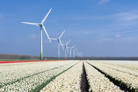 Dutch wind turbines behind a field of white tulips Stock Photo - 14956804