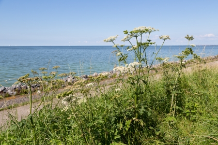 Dutch coast with achillea blooming  at the dike photo