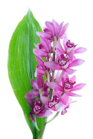 Purple cymbidium with green leave, isolated on white photo