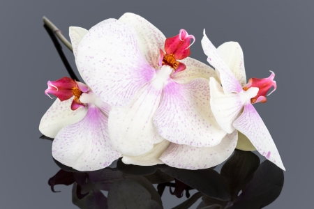 mirroring: White phaleonopsys on a gray mirroring background