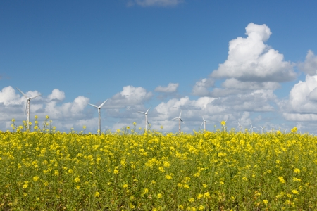 Dutch windturbines behind a yellow coleseed field photo