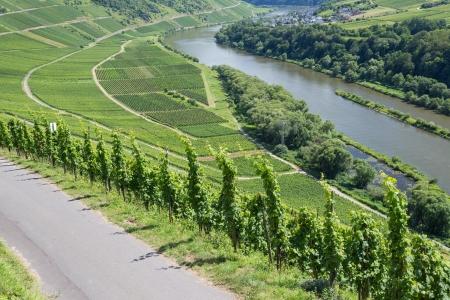 Wijngaarden langs de rivier de Moezel in Duitsland Stockfoto - 15689430