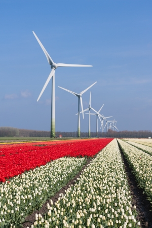 Big Dutch colorful tulip fields with wind turbines Stock Photo - 16126862