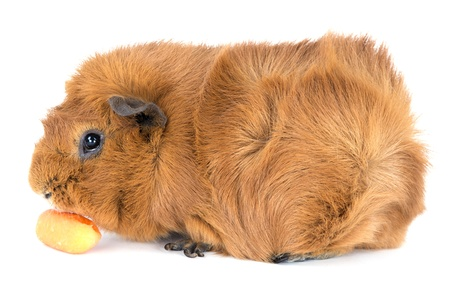 Guinea pig eating a carrot; isolated on white photo